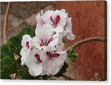 Canvas Print featuring the photograph White And Red Geraniums by Lew Davis