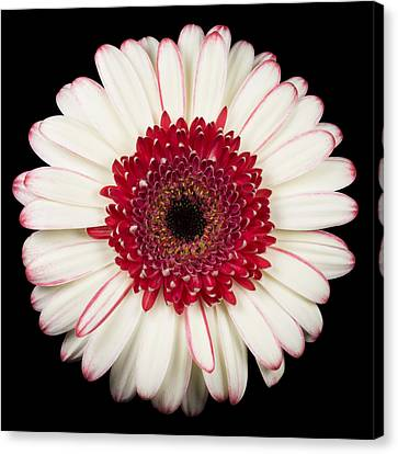 Nature Study Canvas Print - White And Red Gerbera Daisy by Adam Romanowicz