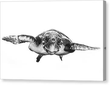 Swim Canvas Print - White And Turtle by Barathieu Gabriel