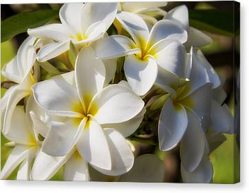White And Yellow Plumeria 2 Canvas Print by Brian Harig