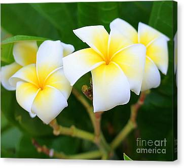White And Yellow Pumeria Canvas Print