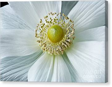 White Anemone 2012 Canvas Print