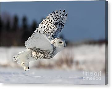 White Angel - Snowy Owl In Flight Canvas Print by Mircea Costina Photography