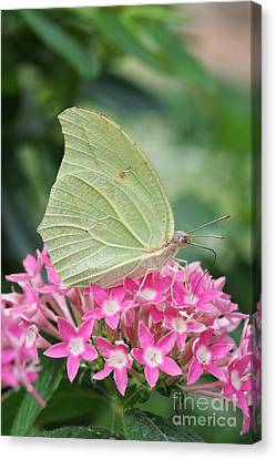 Canvas Print featuring the photograph White Angled Sulphur by Judy Whitton