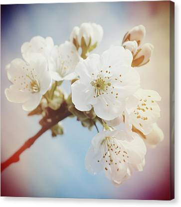 White Apple Blossom In Spring Canvas Print