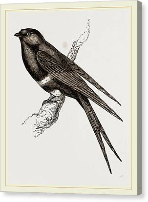 White-banded Swallow Canvas Print by Litz Collection