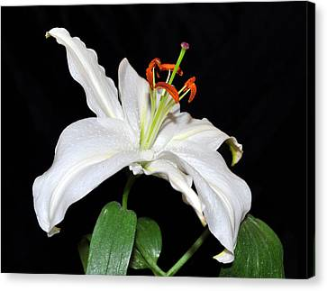 White Beauty Canvas Print by Lula Adams