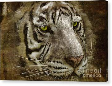 White Bengal Canvas Print by Lois Bryan