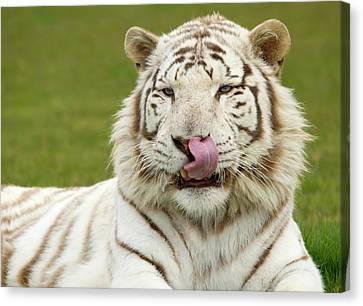 White Bengal Tiger Canvas Print by Nigel Downer