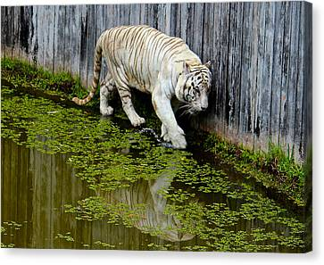 White Bengal Tiger Canvas Print by Venetia Featherstone-Witty