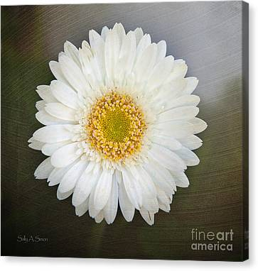 White Bergera Daisy 1 Canvas Print by Sally Simon