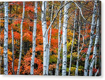 White Birch Forest - White Mountains Canvas Print by Thomas Schoeller