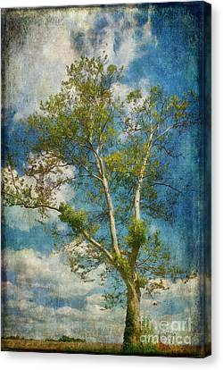 White Birch In May Canvas Print by Lois Bryan