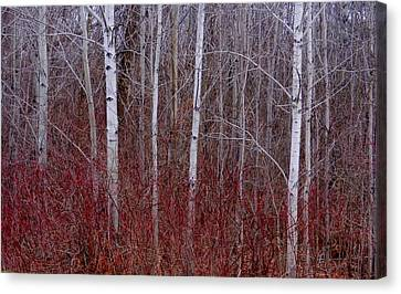 White Birch In The Adirondacks Canvas Print