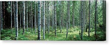 White Birches Aulanko National Park Canvas Print by Panoramic Images