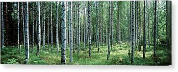 White Birches Aulanko National Park Canvas Print
