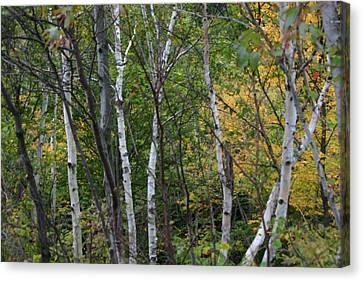 Canvas Print featuring the photograph White Birches In The Woods by Denyse Duhaime