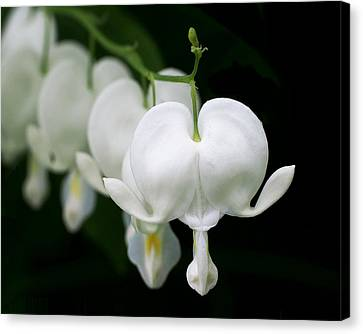 White Bleeding Hearts Canvas Print