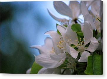 White Blooms Canvas Print by Amee Cave