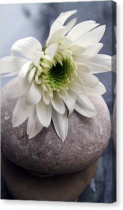 White Blossom On Rocks Canvas Print by Linda Woods