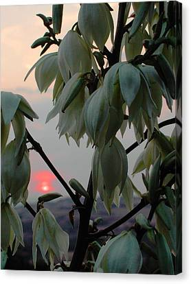 White Blossom Sunset Canvas Print by Dorothy Berry-Lound