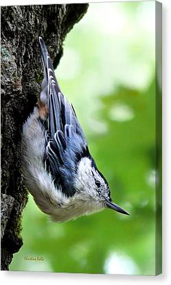 White Breasted Nuthatch Canvas Print by Christina Rollo