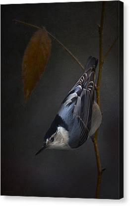 White Breasted Nuthatch Canvas Print by Ron Jones