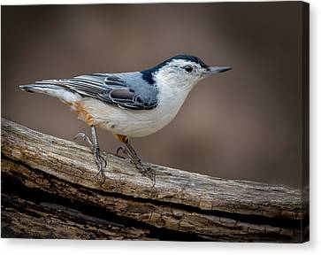 Canvas Print featuring the photograph White Breasted Nuthatch by Steve Zimic
