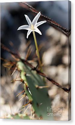 Canvas Print featuring the photograph White Cactus Flower by Erika Weber