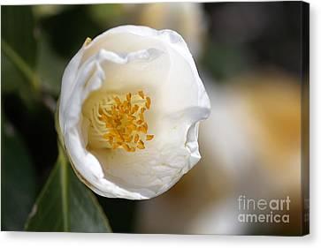 White Camellia  Canvas Print by Joy Watson