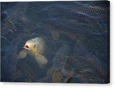 White Carp In The Lake Canvas Print by Chris Flees