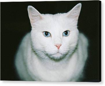 White Cat Canvas Print by Ellen O'Reilly