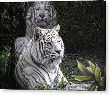 White Cats Canvas Print by Joachim G Pinkawa