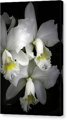 White Cattleya Orchids Canvas Print by Julie Palencia
