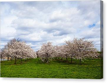 White Cherry Blossom Field In Maryland Canvas Print
