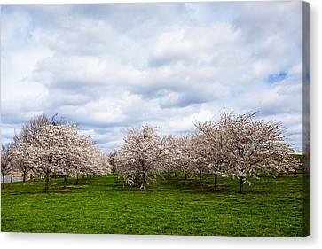 White Cherry Blossom Field In Maryland Canvas Print by Susan Schmitz