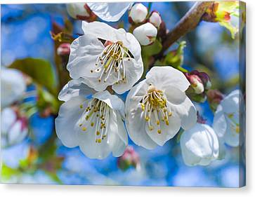 White Cherry Blossoms Blooming In The Springtime Canvas Print