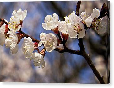 Canvas Print featuring the photograph White Cherry Blossoms by Mary Lee Dereske