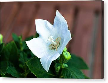 White Chinese Bellflower Canvas Print by Frank Gaertner