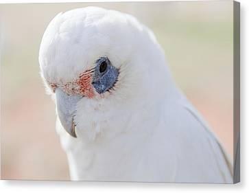 White Cockatoo, Exmouth, Australia Canvas Print