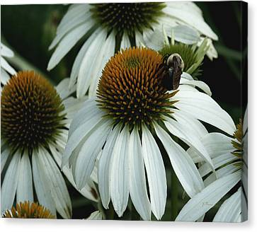 Canvas Print featuring the photograph White Coneflowers  by James C Thomas
