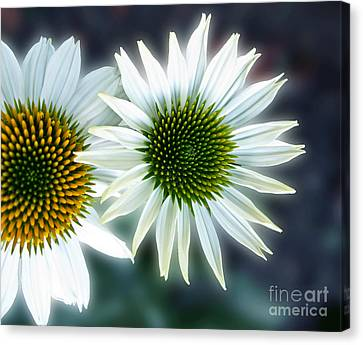 White Conehead Daisy Canvas Print by Arlene Carmel