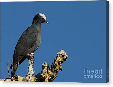 White-crowned Pigeon Canvas Print by Meg Rousher