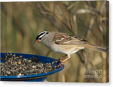 White-crowned Sparrow Eats Canvas Print by Linda Freshwaters Arndt