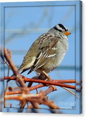 Canvas Print featuring the photograph White Crowned Sparrow by Heidi Manly