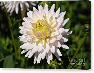 White Dahlia Flower Canvas Print