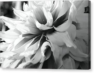 White Dahlia Canvas Print