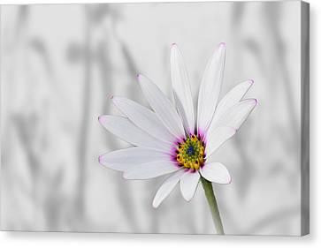 White Daisy Bush Canvas Print
