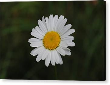 Canvas Print featuring the photograph White Daisy by Robert  Moss