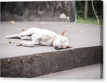 White Dog Sleeping Canvas Print by Nikita Buida